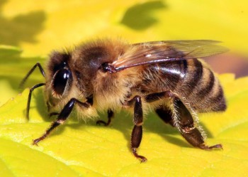 Honey bee (Apis mellifera).jpg